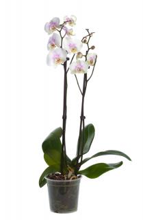 Orquídea Phalaenopsis Branca | Florisbella Floricultura