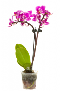 Orquídea Phalaenopsis Rosa   Florisbella Floricultura