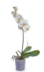Mini Orquídea Phalaenopsis Branca
