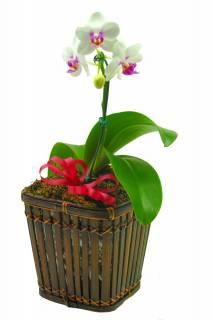 Orquídea Phalaenopsis Midi | Florisbella Floricultura