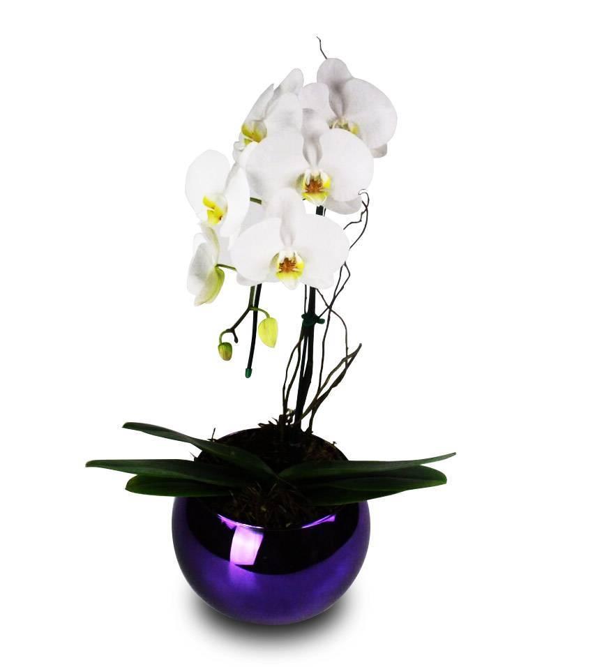 Orquídea Energia Extravagante